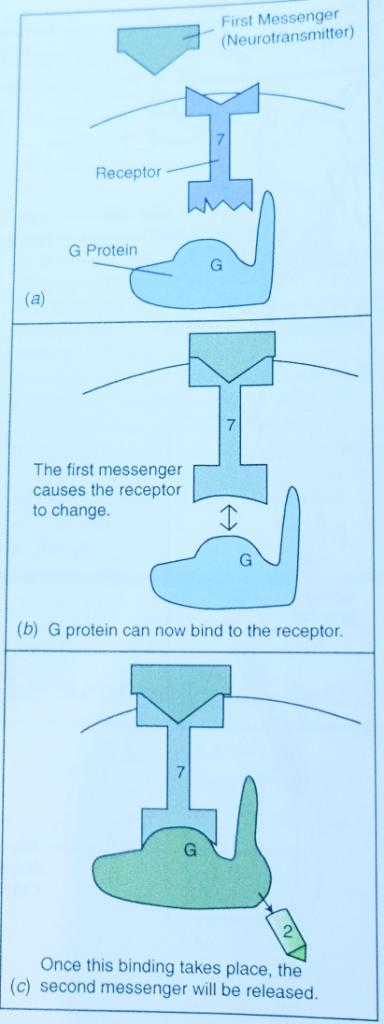 Quá trình mà một thông điệp thứ hai (second messenger) được giải phóng