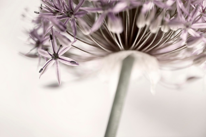 Flowering onion flower