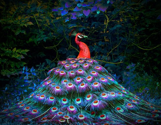 red-peacock-by-michael-richards